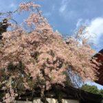 朝活登山 出勤前に桜の高尾山
