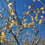 宝登山は梅の香り 野上駅~宝登山の蝋梅(ロウバイ)~松ばやで鮎めし~ギャラリー喫茶やましたのプリン