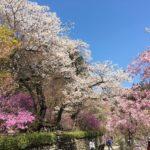 桜舞う武蔵五日市 小庄の桜~乙津花の里~茶房むべ~秋川渓谷瀬音の湯♨