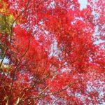 紅葉を楽しみながら御岳渓谷散歩~澤乃井で湯葉うどんと利き酒